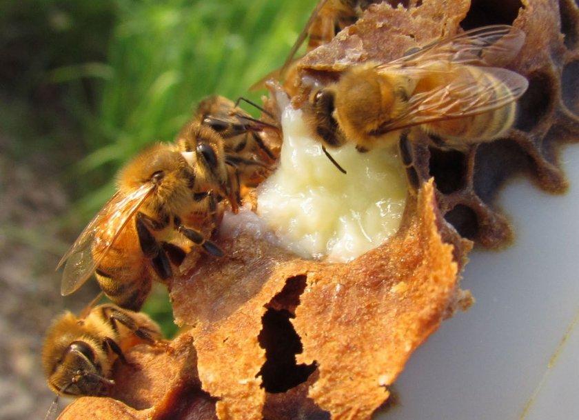 Пчёлы питаются маточным молочком