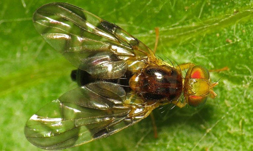 Сельдерейная муха