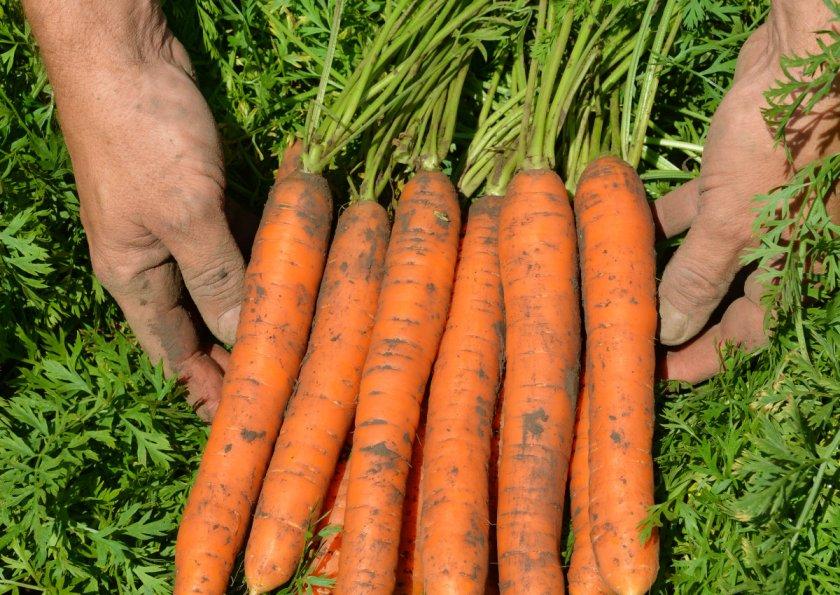 Нантская морковь