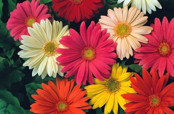 Семена Герберы: как они выглядят и все про выращивание в домашних условиях