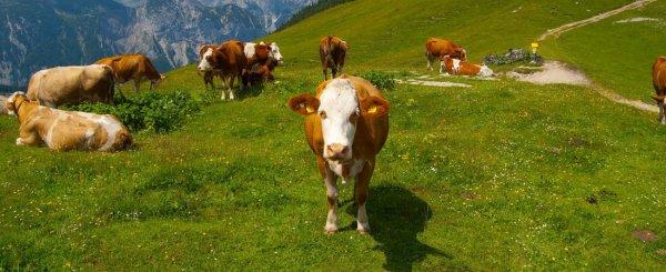 Телязиоз крупного рогатого скота КРС: лечение и симптомы у коровы