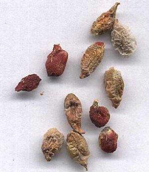 Семена аглаонемы