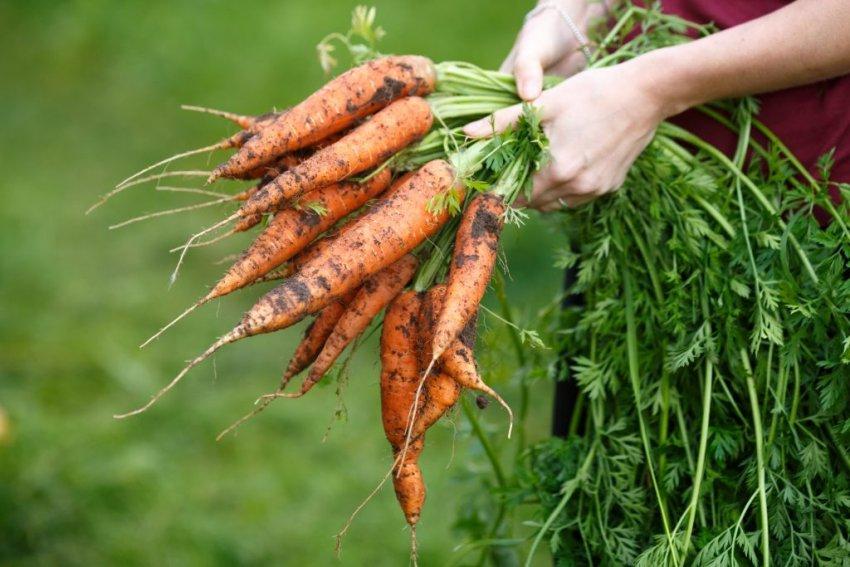 Как и когда убирать морковь