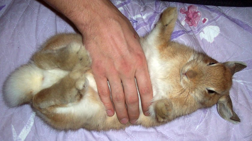 Массаж живота кролика