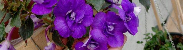 Экзотический ахименес – уход и размножение