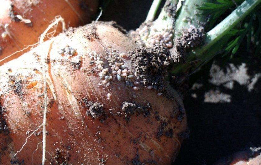 Тля на плоде морковки