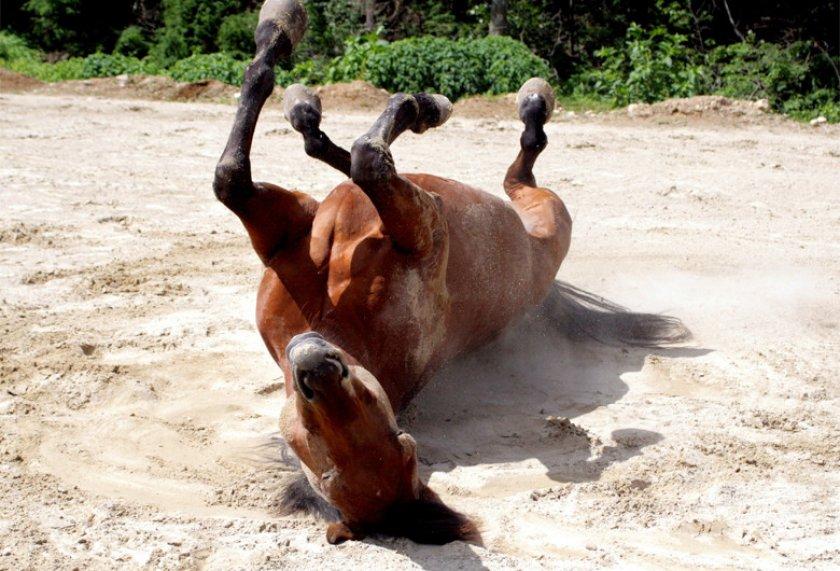 Симптомы коликов у лошадей
