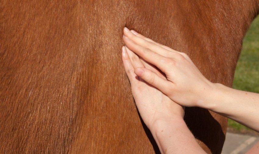 Массаж живота лошади