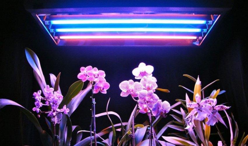 Искусственное освещение фаленопсиса