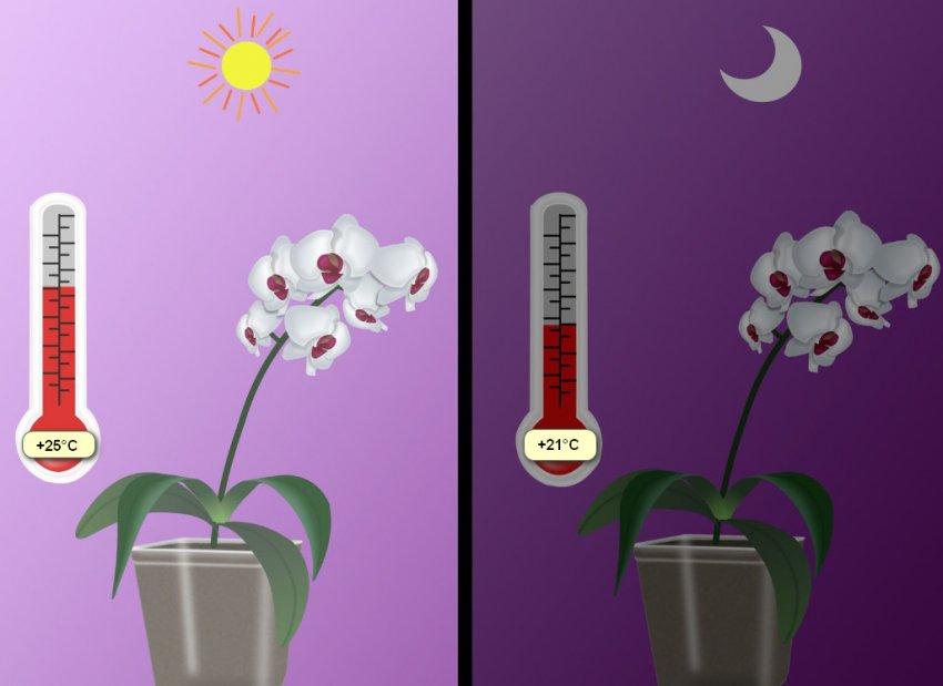 Среднесуточная температура для фаленопсиса