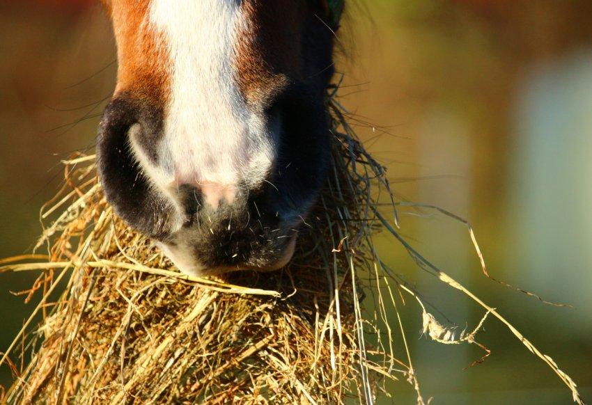 Лошадь ест сено