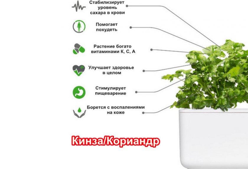 Описание лучших сортов кинзы agrovoz.su