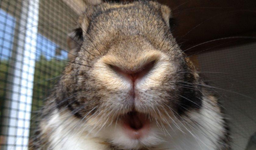 Бешенство у кроликов