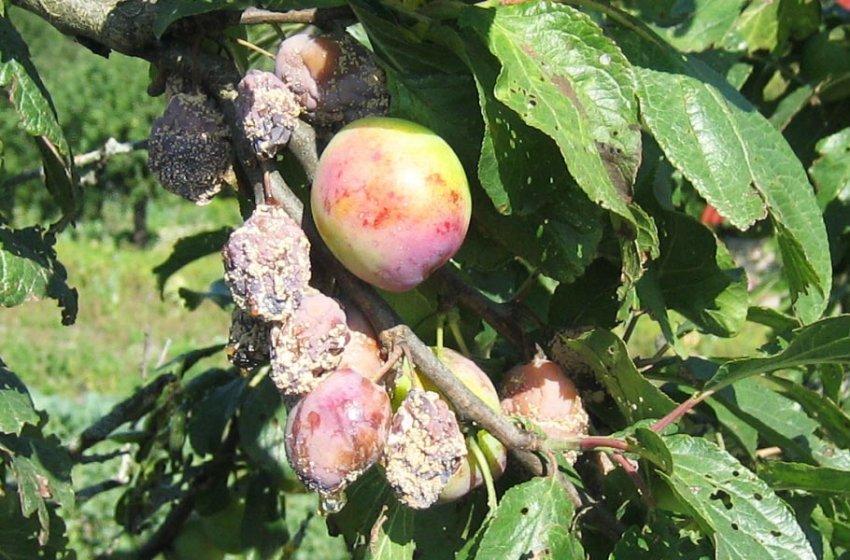 Плодовая гниль на плодах сливы