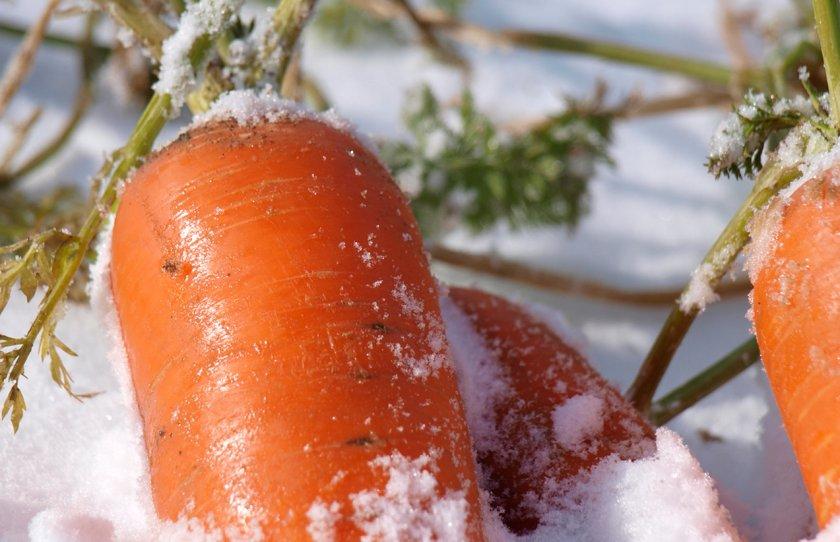 Зимовка моркови в снегу