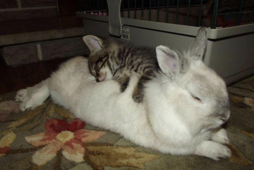 Кролик спит с кошкой