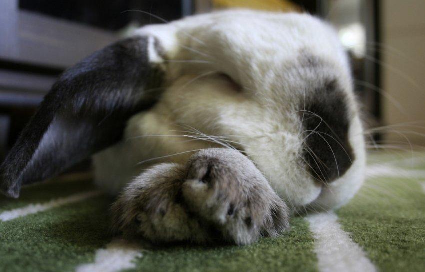 Сон кролика
