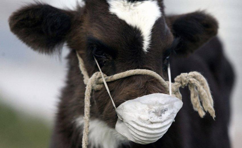 Туберкулёз коров