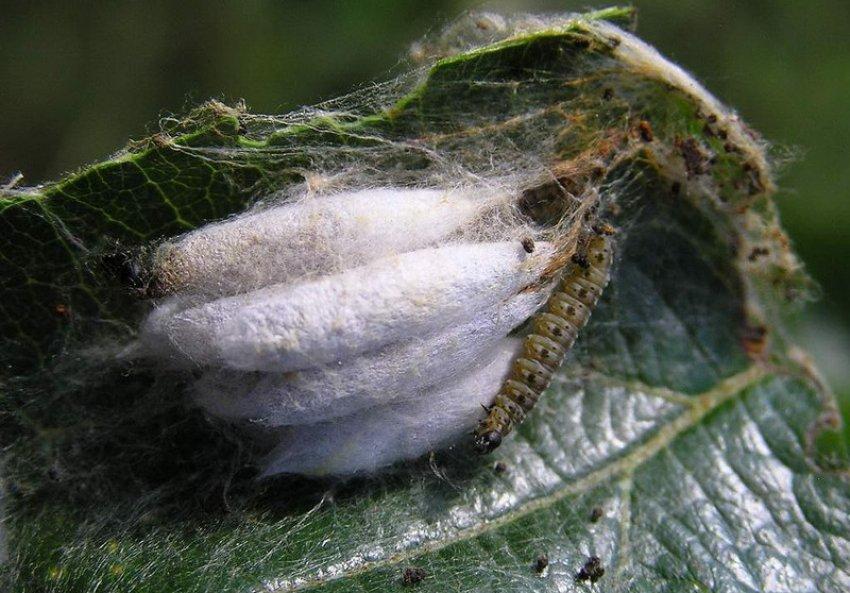 Личинка сливовой моли