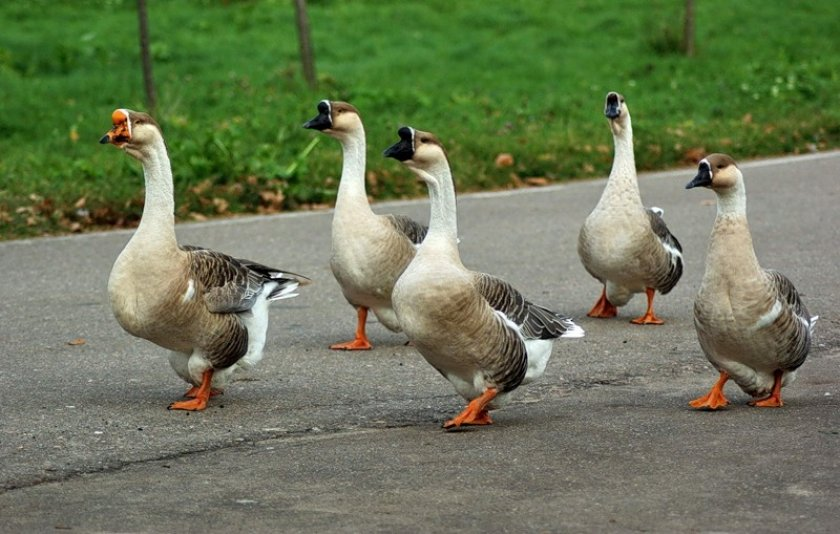 Стадо гусей