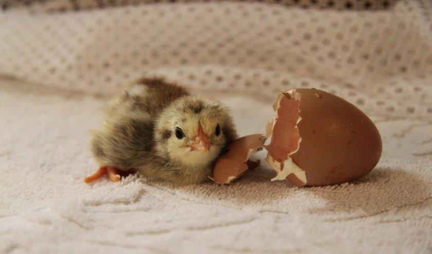 Вылупление цыпленка