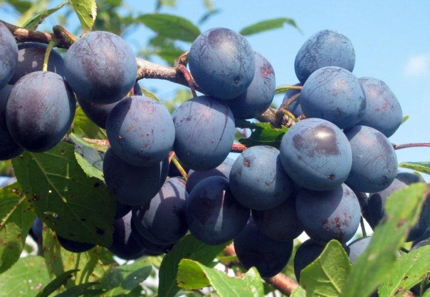 Плоды сливы Дашенька