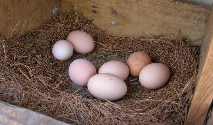 Яйца для вылупления цыплят