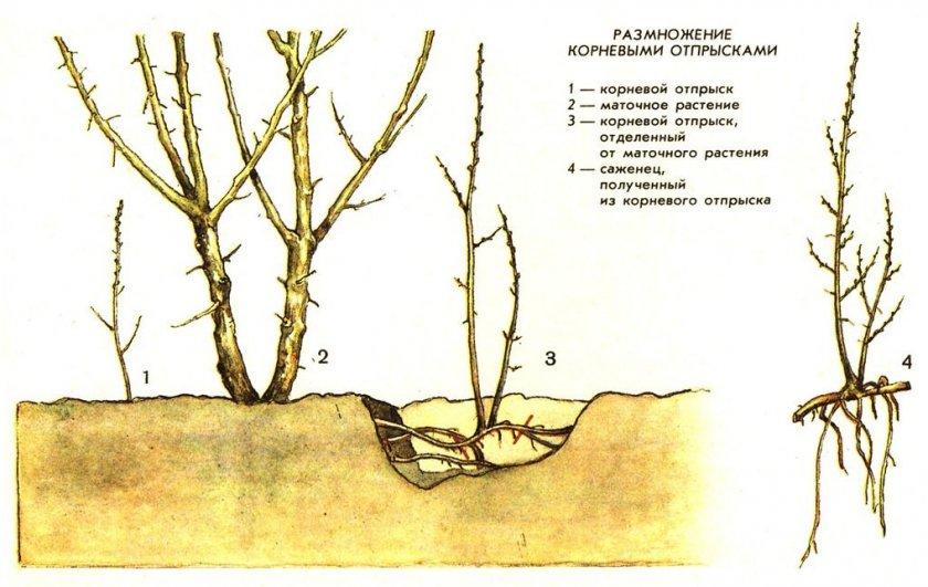 Для размножения сливы корневой порослью нужно выбирать самые жизнеспособные побеги