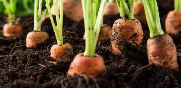 Сеялки для моркови как сделать своими руками ручная для дачи мини