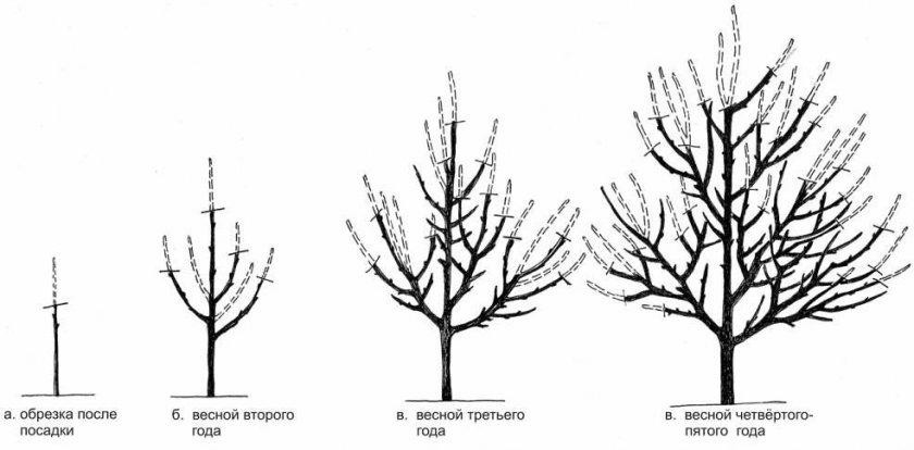 Схема формировки груши