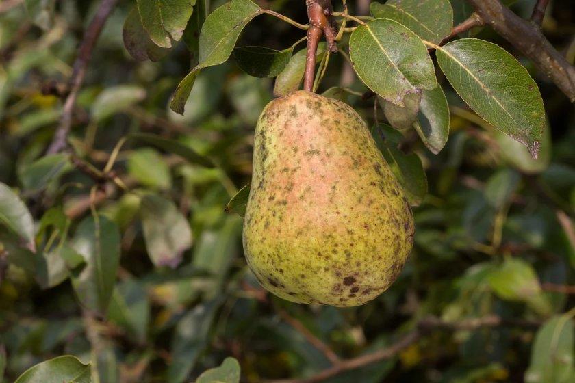 Парша на груше