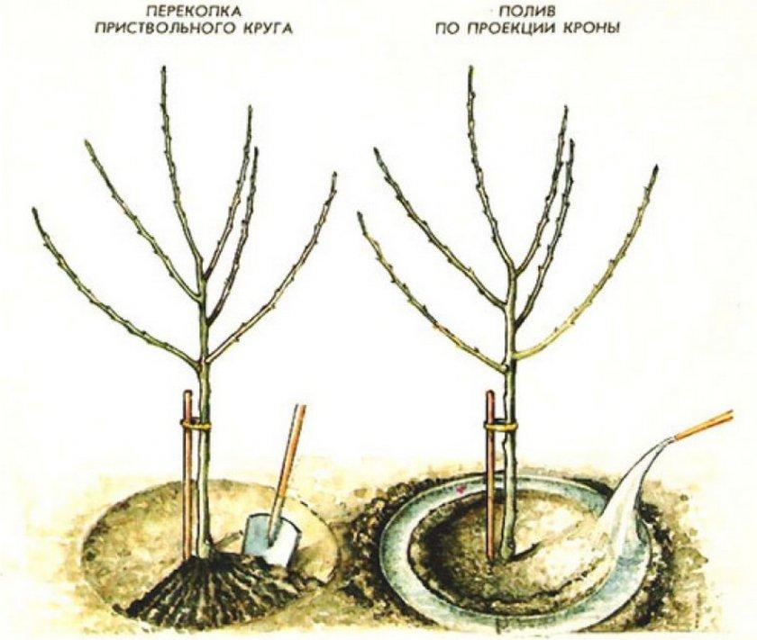 Схема полива груши