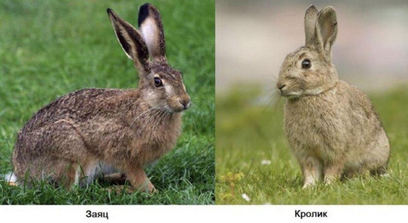 Отличия зайца от кролика
