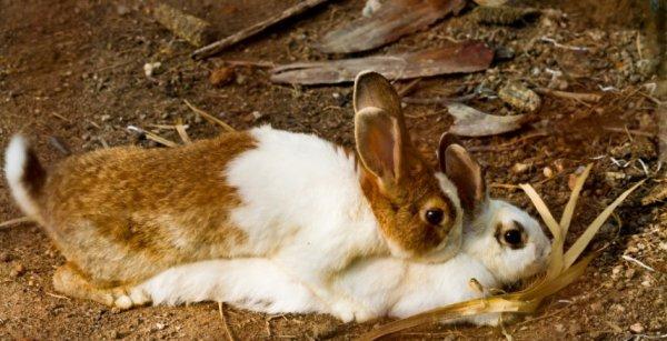 Когда кролик становится половозрелым. В каком возрасте кролики готовы к спариванию?