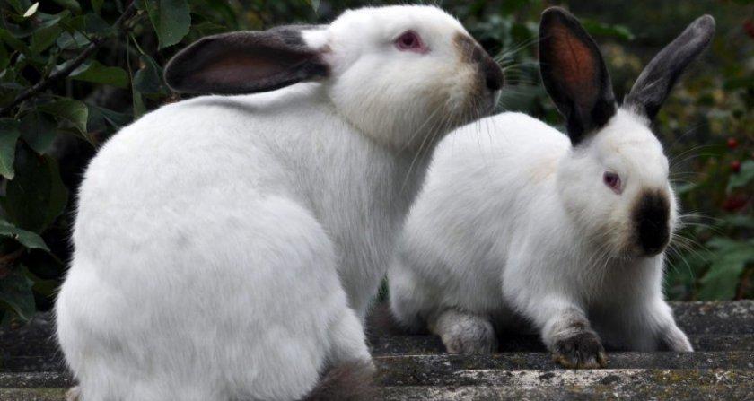 Пара кроликов