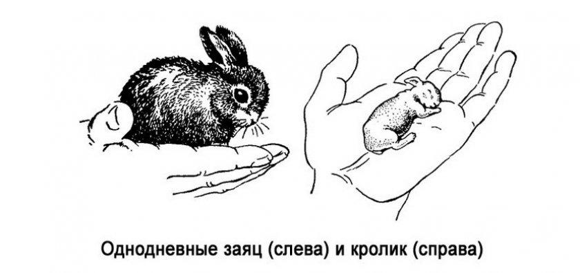 Потомство зайца и кролика