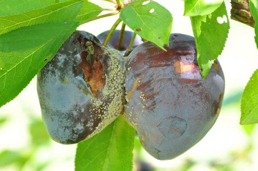Серая гниль на плодах сливы