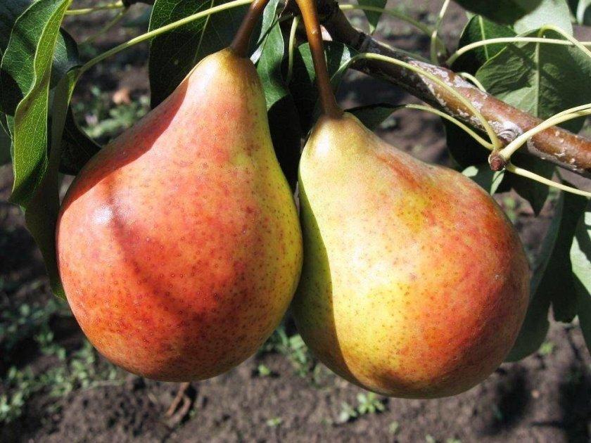 зрелые плоды груши Москвичка