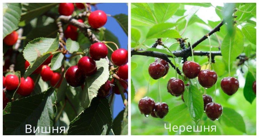 Различия между вишней и черешней