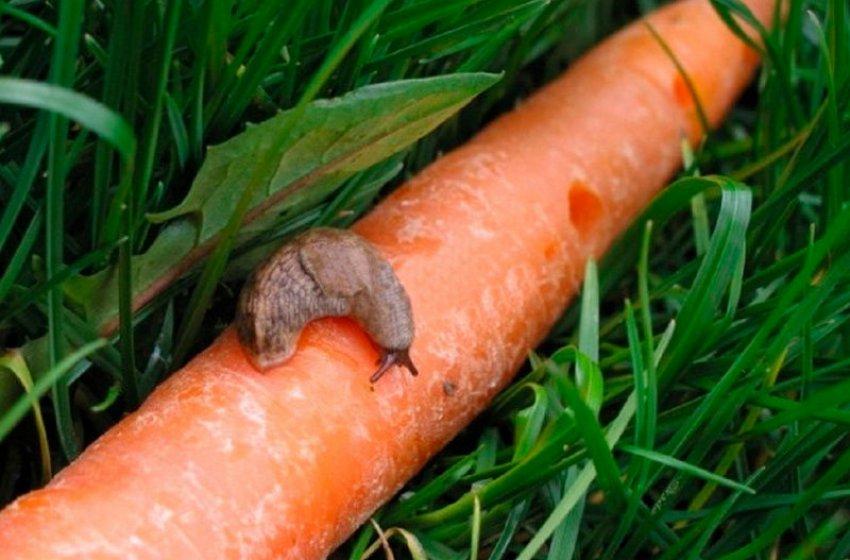 Слизень на морковке