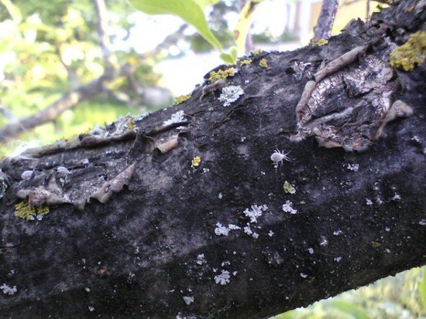 Чёрный рак на стволе груши