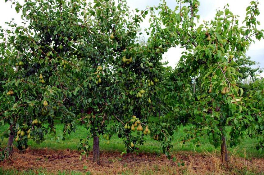 Выбор места для выращивания груш