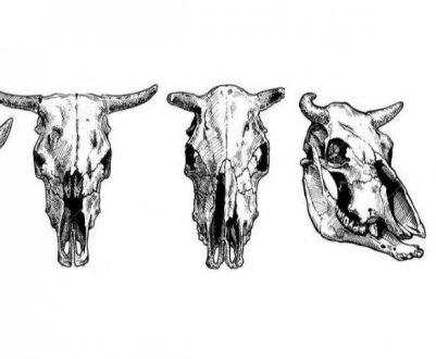 Строение черепа коровы