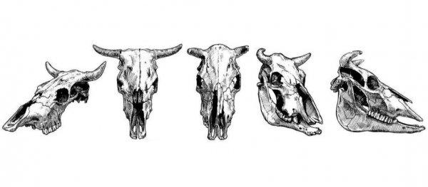 Анатомия и строение коровы: фото и видео обзор