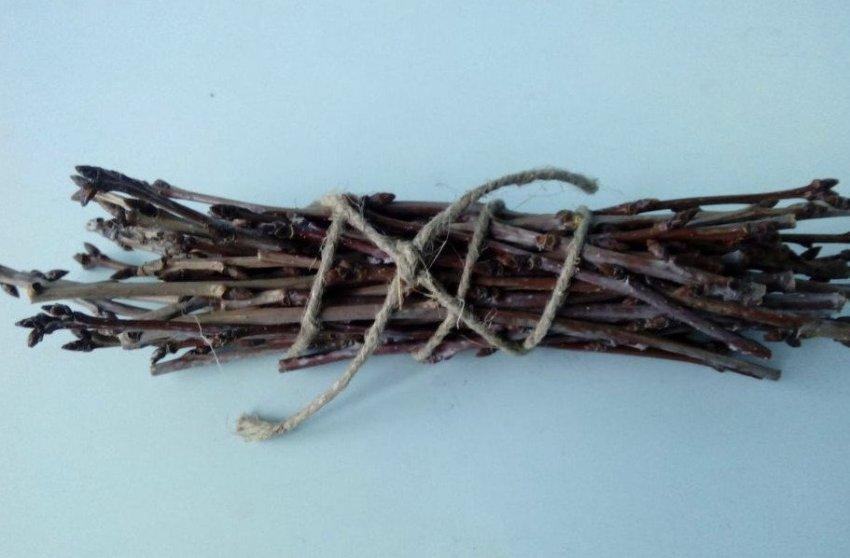 Заготавливание пучков вишнёвых веток