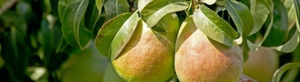 Поросль груши будет ли плодоносить