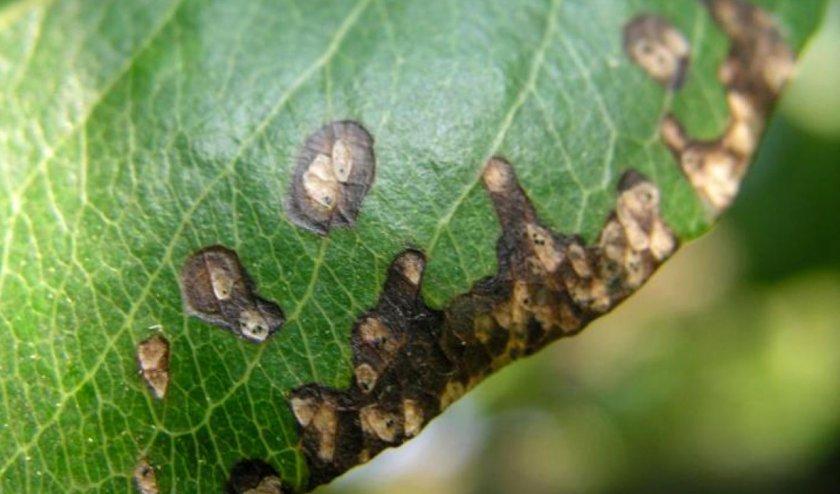 Cепториоз на листьях груши