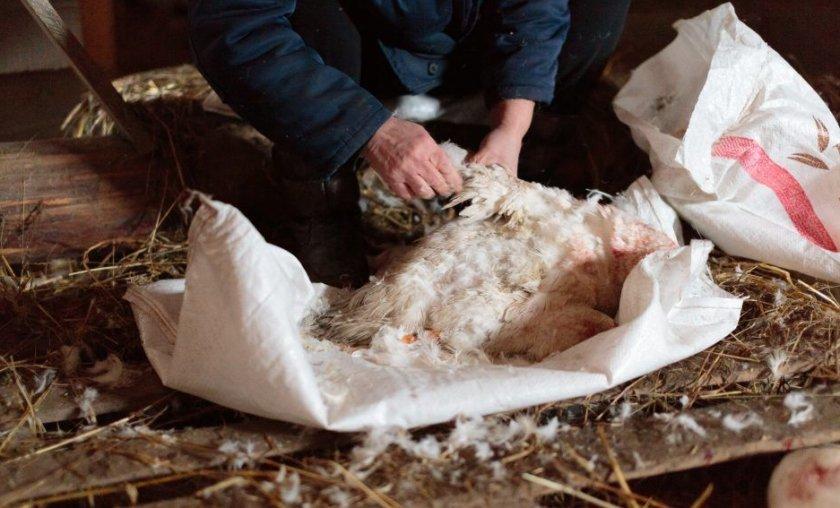 Ощипывание утки