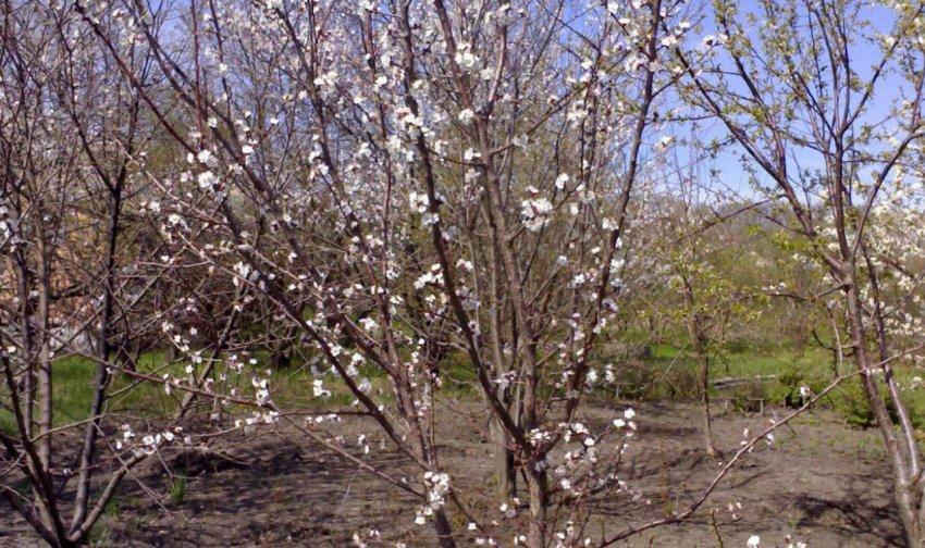 Место посадки вишни