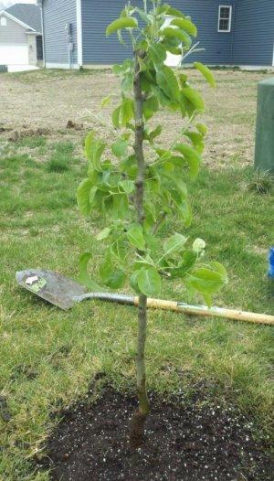 Молодое дерево груши